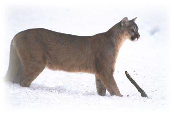 pennsylvania cougars