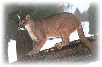 Cougars in pennsylvania